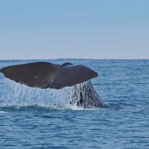 sperm whale tour in Portugal