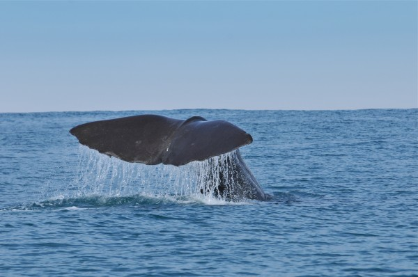 sperm whale tour in Portugal